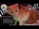САМЫЙ ОПАСНЫЙ ВИРУС ФИП или Панлейкопения Угроза для жизни кошек Help kittens to survive