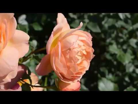 РОЗЫ! Много роз в парке Рундальского дворца.Латвия 2018.