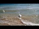 Евпатория.Черное море и лебеди 12.10.18
