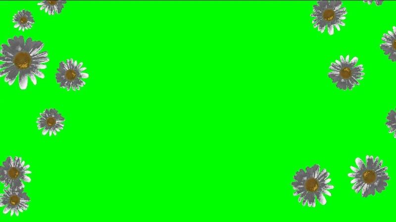 ФУТАЖ Ромашки (хромакей) - Footage Chamomile (chromakey)