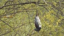 Drunk wood pigeon swinging in the breeze