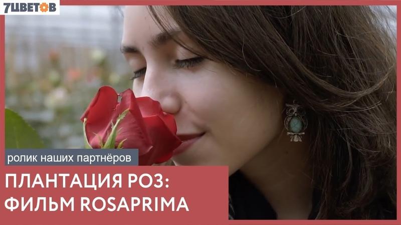 Как собирают розы на плантации | Ролик компании Rosaprima