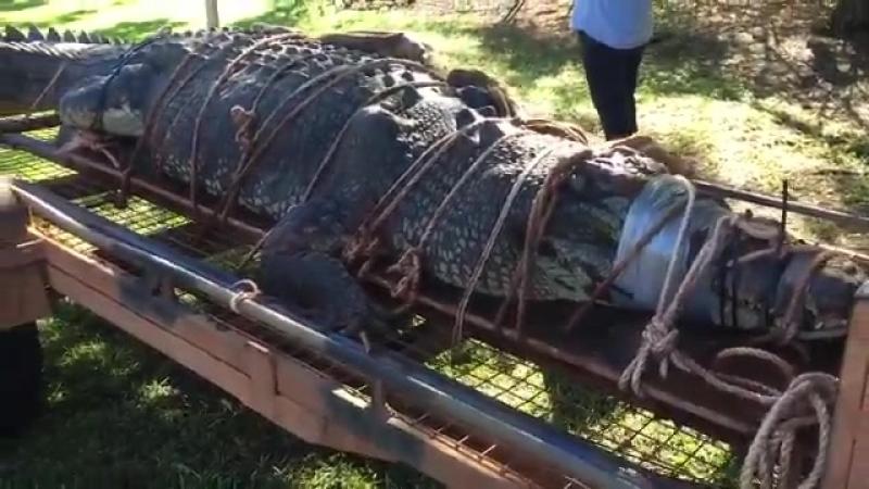 Рейнджеры поймали самого большого крокодила в Кэтрин, Австралия