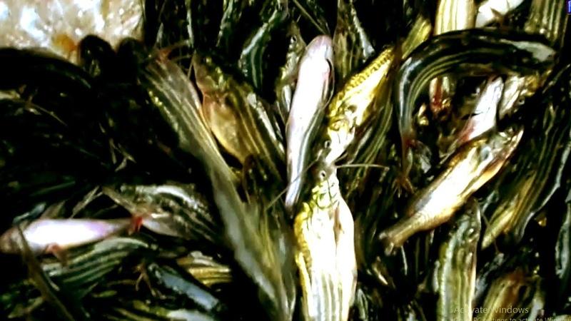 Fish Farming | Tangra Fry Fish Farming | Tangra Fish Farming Bangladesh