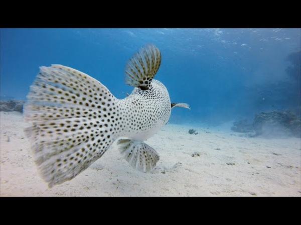 Египет, Красное море, подводный мир бухты Макади. Китовая акула, мурены, осьминоги,черепахи и т.д...