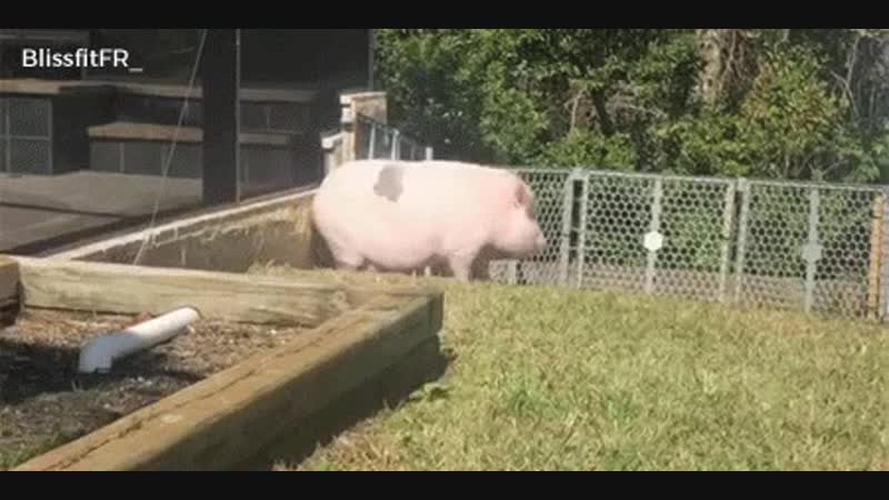 Don't be afraid of Larry Steve, Ember... Be terrified ! ScaryPig 🐷😂