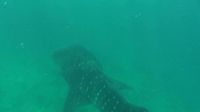 Подводные! С Китовой акулой!