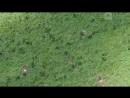 Самка оленя устроила погоню за волком