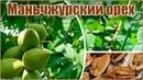 Орех маньчжурский размножение семенами стратификация и посадка орехов