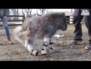 Mini DwarfPonyWho Could Barely Walk Finally Gets To Run