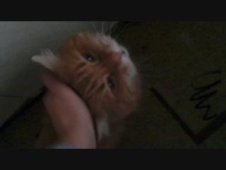 Кот персик просит корма