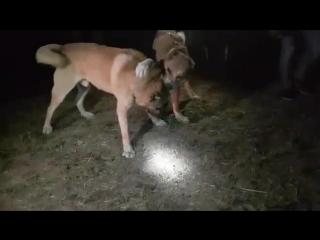 kangal gobel: Kelkıtten sunkar torunu sarı vs kelkıtten kılıç sarı oglu sarı