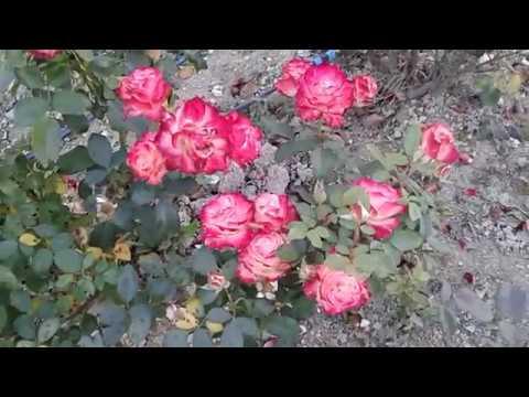 сорт розы Юбилей С Петербурга, питомник роз Полины Козловой