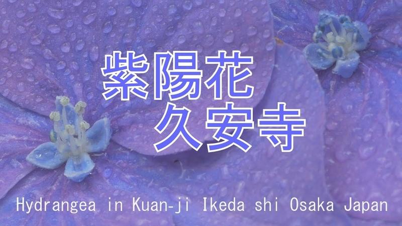 紫陽花✕久安寺2018 大阪府池田市 Hydrangea in Kuan-ji Ikeda shi Osaka Japan