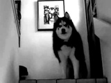 Black Metal Husky sings Nargaroth