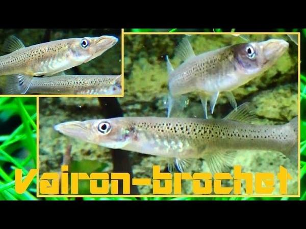 Belonesox belizanus Kner 1860 HD Vairon brochet Aquarium Porte Dorée 05 2015