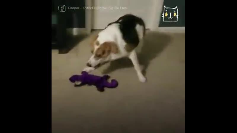 Собачка Купер с укороченным позвоночником