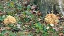 Спарассис курчавый, Грибная капуста (Sparassis crispa) - два огромных гриба, 22.10.2017