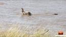 Нильский крокодил убивает жеребёнка зебры на миграциях