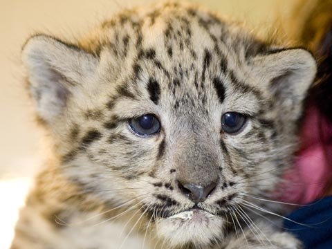 Zoo Medicine Behind the Scenes: Snow Leopard Cubs