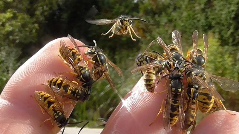 Hornet and wasps on my hands. Speaker Hans J. Sittig. Hornissen und Wespen sind keine Ungeheuer.