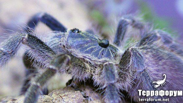 Ceratogyrus marshalli