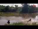 Молодой нильский крокодил ловит антилоп