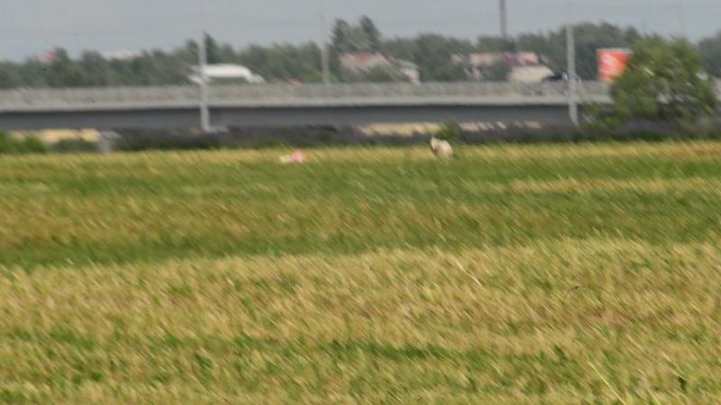 Пшеничный терьер первая тренировка