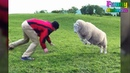 Funny Sheeps Attacking People! Hilarious! Funniest Animals Video 2019