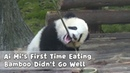 Ai Mis First Time Eating Bamboo Didnt Go Well iPanda