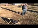 Australian Cattle Dog herding