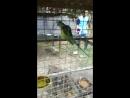 Попугу опустили на зоне и заставили кукарекать