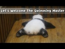 Let's Welcome The Swimming Master: Jin Yu The Baby Panda | iPanda