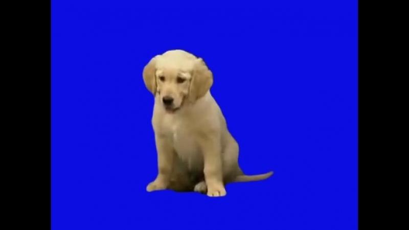 Gachimuchi Puppy on a blue screen Щенок на синем экране
