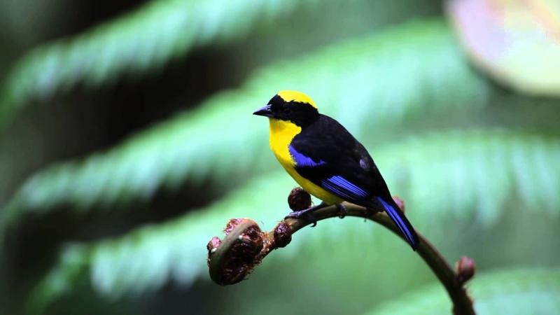 Blue-winged mountain tanager / Синекрылая горная танагра / Anisognathus somptuosus