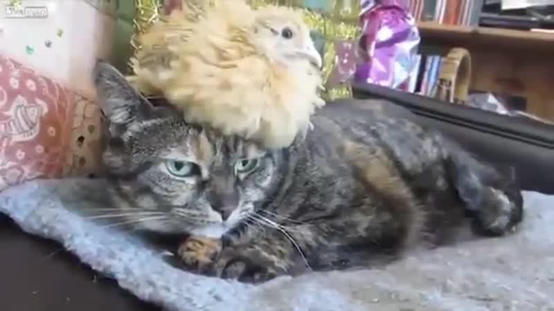 Кот и цыплёнок
