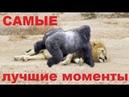 ОХОТА и БОИ животных - лучшие сумасшедшие моменты