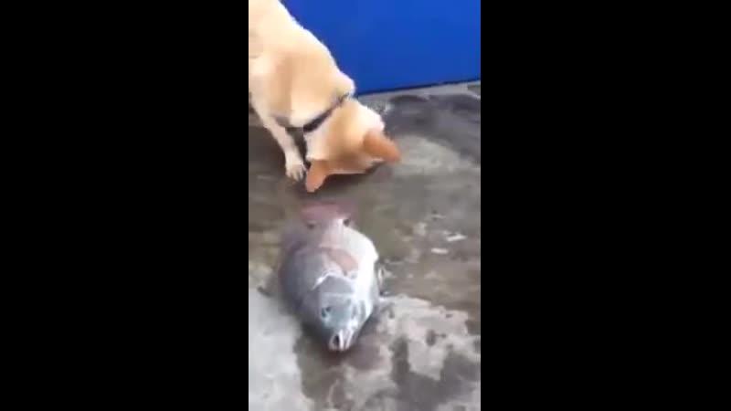 V Собака пытается спасти рыбу показывая человеку что ей нужна вода mp4