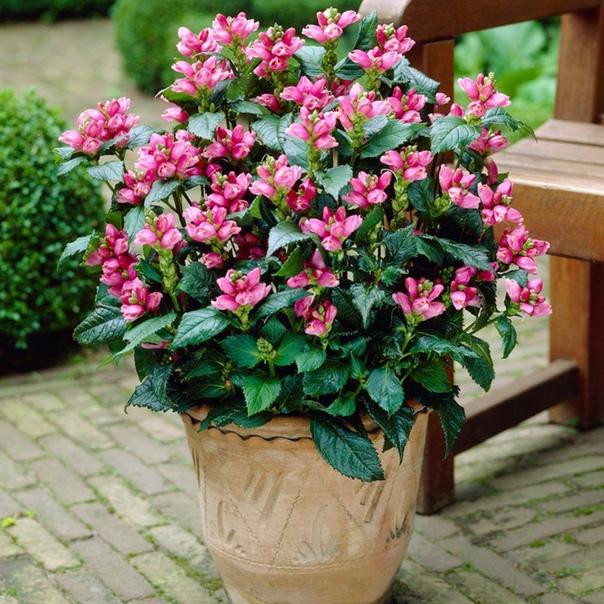 хелоне хелоне красивый цветущий многолетник, который пока мало известен российским садоводам. а многие садоводы даже ещё и не слышали о растении с таким названием. хелоне очень выносливое