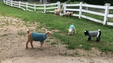 Just a tiny taste of goat sweetness (in sweaters)