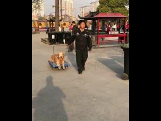 Ленивый китайский пёс
