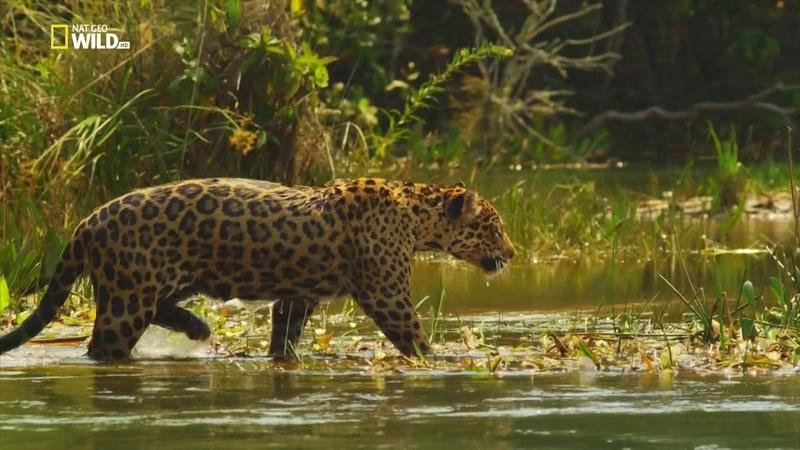 Nat Geo Wild Дикая Колумбия Чирибикете путешествие к сердцу Амазонки 1080р