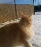 Maine_coon_canis_majoris video