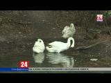 Озеро в симферопольском парке имени Гагарина стало лебединым