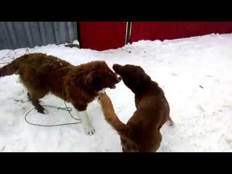 Весёлая игра собак, любовь с первого взгляда! Не путать с боем!