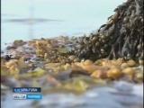 В Ура-Губе скоро заработает предприятие по производству сушёных водорослей