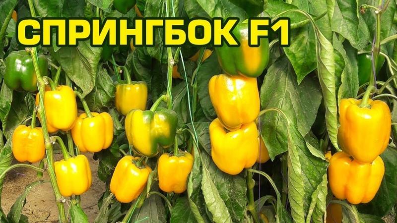 СПРИНГБОК F1 - РАННИЙ И ВЫСОКИЙ УРОЖАЙ ПЕРЦА