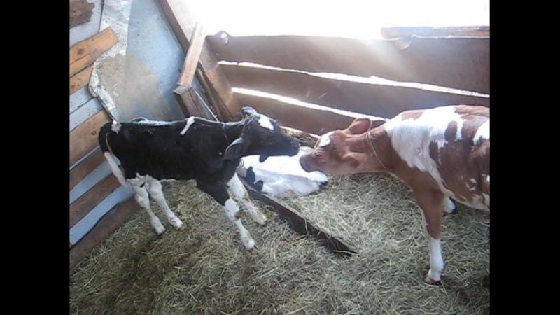 Племенные бычки голштинской породы черно-белые и телка красно-пестрая