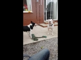 Two dogs stop fighting over a rope when owner shouts Grandma