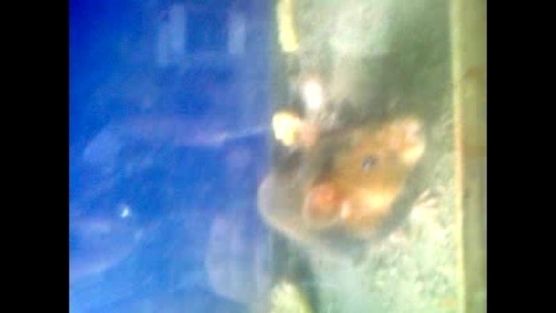Видео 0002 : Рассматриваем дикого полевого хомяка вблизи ! ( Хомяк пойманный капканом ) - Издевательство